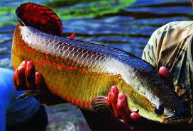 Cá hải tượng hoang dã thuần chủng nuôi trong hồ lắp đặt máy làm lạnh nước hồ cá KEEN
